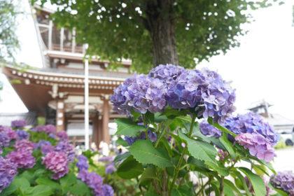 東別院と紫陽花